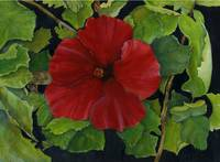 Red Hibiscus At Kipu Kai