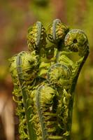 Unfurling ferns
