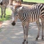 """Zebra 245"" by photographybydonna"
