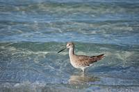 Waves and a Willet