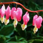 """Bleeding Hearts in a row"" by lam20"