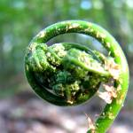 """Emerging Spring Fiddlehead"" by alexanderwyoung"