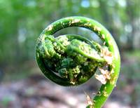 Emerging Spring Fiddlehead