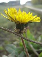 Young dandelion
