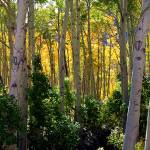 """The Aspens of Lundy Canyon (Panorama)"" by pbk"