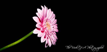 Flower Pink Blackbackground charp