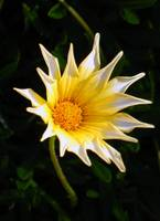 Yellow, Orange, and White Flower