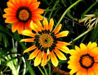 Three Orange Flowers