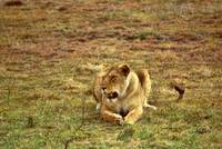 African Lion 104