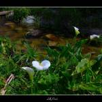 """""""Lilly Patch"""" by the_tahoe_guy"""