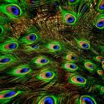 """Peacock plumage"" by MelanieDoty"