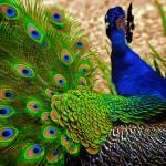 """""""Peacock"""" by MelanieDoty"""
