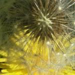 """""""Dandelions"""" by fernee-bis"""