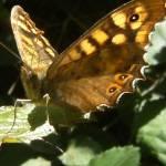 """""""Butterfly Open Wings"""" by fernee-bis"""