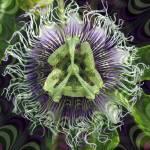 """Fractal Flower 1"" by Rafa"