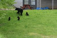 Waubee Lake Mama Bear and cubs