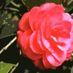 """""""Pink Camellia 1"""" by Kirby"""