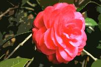 Pink Camellia 1