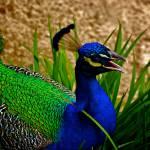 """""""Peacock head"""" by MelanieDoty"""