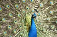 close up peacock