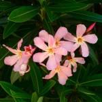 """Oleanders 495"" by Corbett"