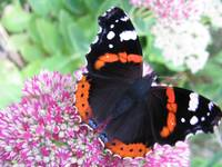 The Red Admiral on Pink