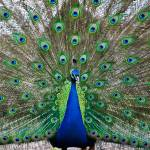 """Peacock at Kentwell Hall, Suffolk"" by daveturnerphotography"