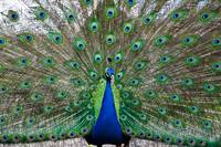 Peacock at Kentwell Hall, Suffolk