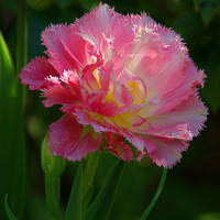 Frilly Queensland Tulip