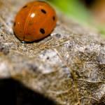 """Ladybug"" by B-mer"