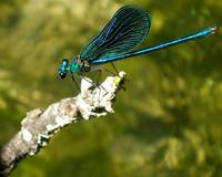 Seledin dragon fly...