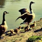 """""""Geese"""" by vandann04"""