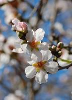 Almond Blossoms II