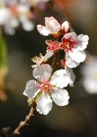 Almond Blossoms I