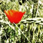 """""""redpoppy"""" by fernee-bis"""
