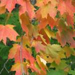 """Maple leaves in Fall"" by CarmenL"