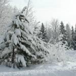 """Snowladen trees"" by CarmenL"