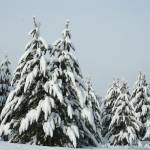 """Pines heavy with snow."" by CarmenL"