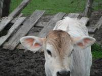 Mr. Brockman the Brown Swiss