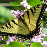 """Swallowtail"" by LjTaft"