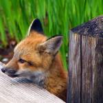 """Baby Fox (view large)"" by judo_dad1953"