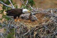 Bald Eagle Nesting Series - Proper Care and Feedin