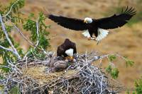 Bald Eagle Nesting Series - And For the Third Cour