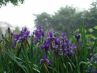 Iris In The Fog