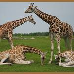"""A Family of Giraffes"" by xhandi"