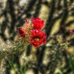 """Xmas Jumping Cholla"" by Arizona_Photography"
