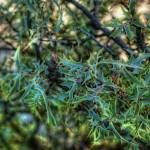 """Mistletoe (T05978bc)"" by Arizona_Photography"