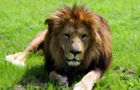 African Lion 127