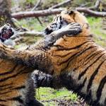 """""""Fighting Tigers"""" by Sparky2000"""