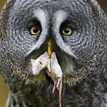 """Great Grey Owl"" by Sparky2000"